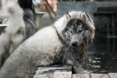 muddy husky