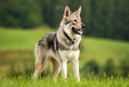 Czechoslovakian Wolfdog on top of hill