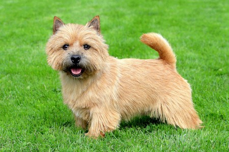 small Norwich Terrier on grass