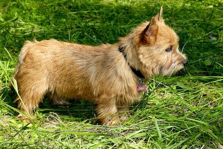 Norwich Terrier 2