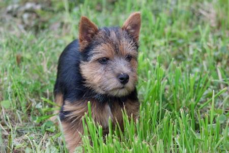 Norwich Terrier 6
