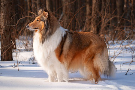 Rough Collie in snow