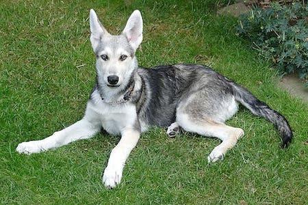 laying white coated Saarloos Wolfdog