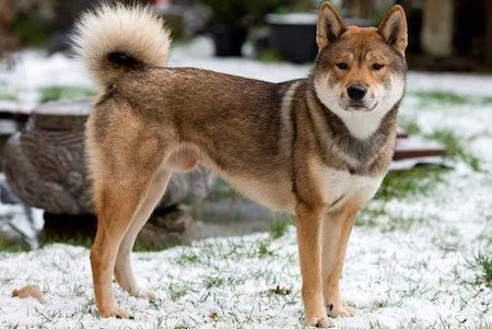 Shikoku dog in snow