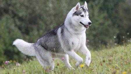 sprinting Siberian Husky