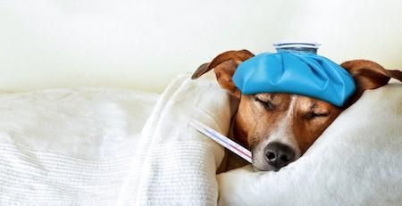 sleeping sick dog