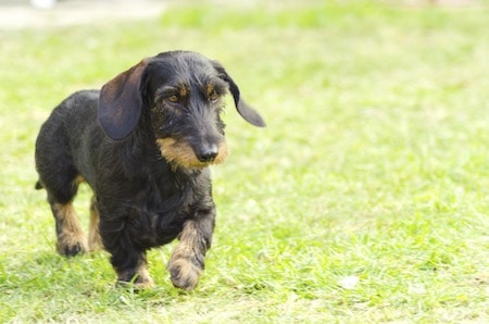 Wire Haired Daschund 1