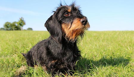 Wire Haired Daschund on the grass