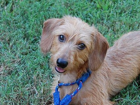 Wire Haired Daschund 4