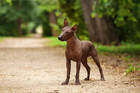 Xoloitzcuintli standing on dirt