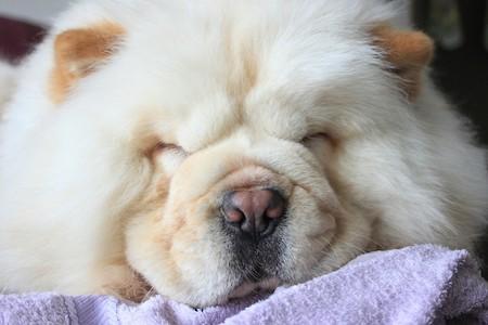 white chow chow sleeping