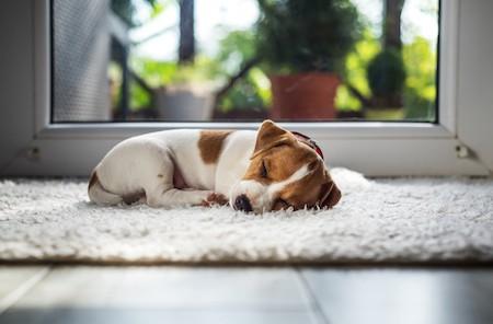 jack russel puppy sleeping on white carpet