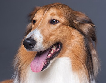 scotland shepherd dog face