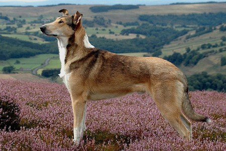 smooth collie in meadow
