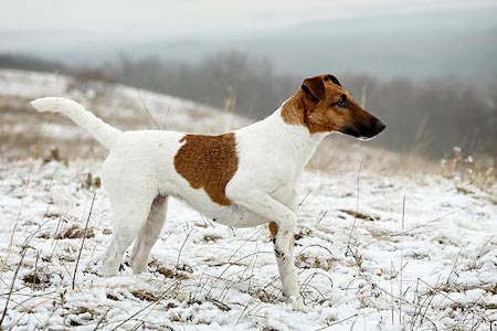 smooth fox terrier on snowy land
