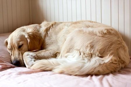 golden retriever sleeping in bed