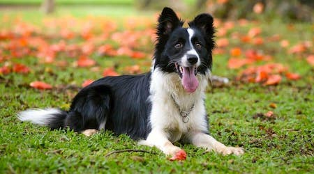 gasping Border Collie