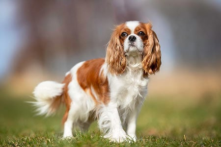 small white and brown Cavalier King Charles Spaniel