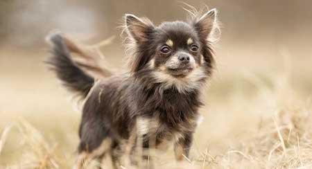tough Chihuahua