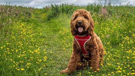 Cockapoo on meadow