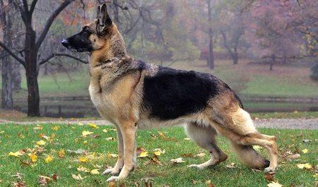 well built German Shepherd