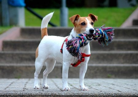 Jack Russell Terrier with toy on mouth