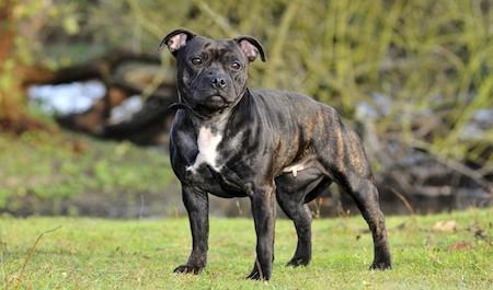 fierce Staffordshire Bull Terrier