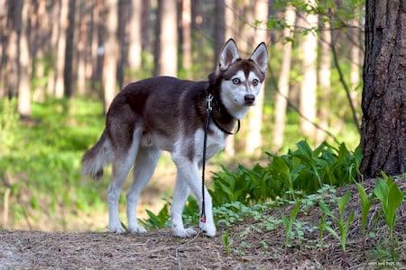 alaskan klee kai in woods