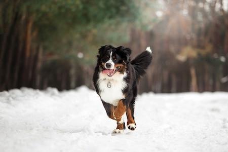bernese mountain dog running on snow