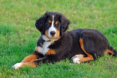 puppy bernese mountain dog in natural scenery