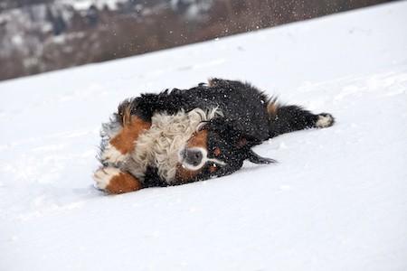 bernese mountain dog playing on snow