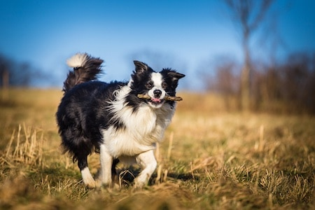 border collie fetching a stem
