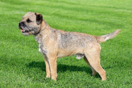 border terrier on lawn