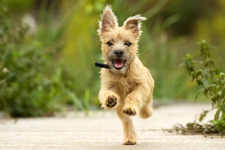 cairn terrier running outdoors