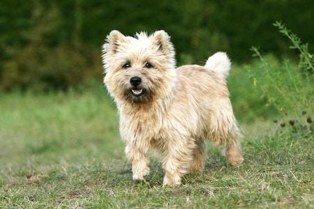cairn terrier standing on yard
