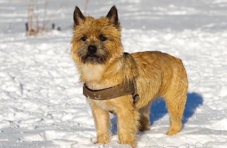 cairn terrier on snow