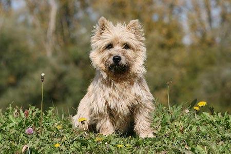 cairn terrier sitting on grass