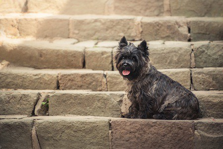 cairn terrier sitting at old staircase