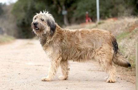 catalan sheepdog on the street