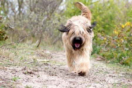 catalan sheepdog walking