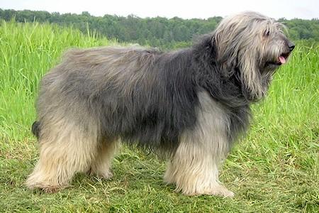 catalan sheepdog standing on grass