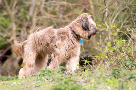 catalan sheepdog smelling plants stems