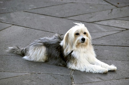 catalan sheepdog lying down