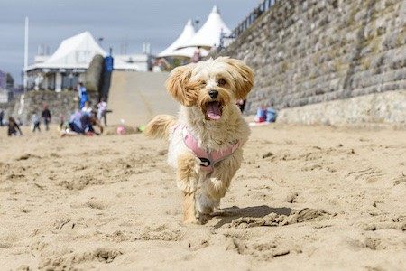 cavapoochon playing on sand