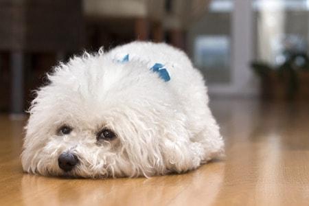 cavapoochon lying on floor