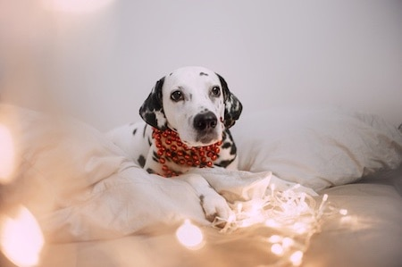 dalmatian lying on the bed with christmas decorations