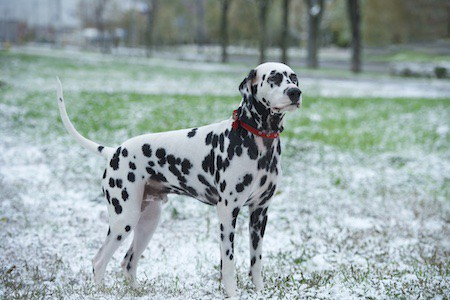 dalmatian standing on grass covered with snow