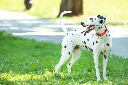 dalmatian playing on grass in the park