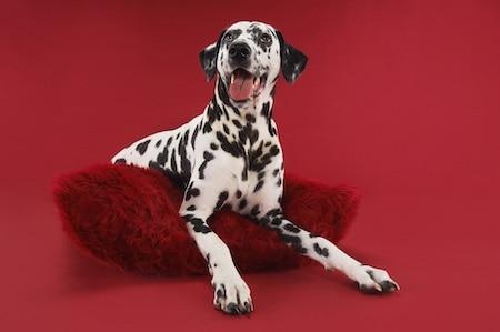 dalmatian relaxing on red cushion