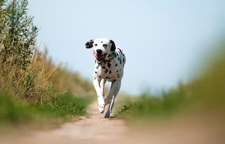dalmatian running on path